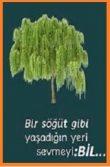 Söğüt Ağacı Nasıl Yaşıyor