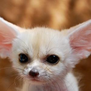 kolay-kolay-goremeyeceginiz-harika-hayvan-yavrulari-beyaz-tilki-yavrusu