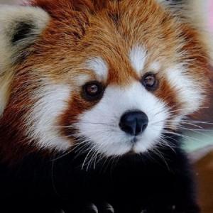 kolay-kolay-goremeyeceginiz-harika-hayvan-yavrulari-kirmizi-panda-yavrusu