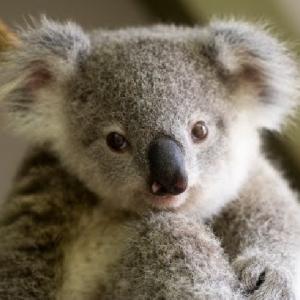 kolay-kolay-goremeyeceginiz-harika-hayvan-yavrulari-koala-yavrusu