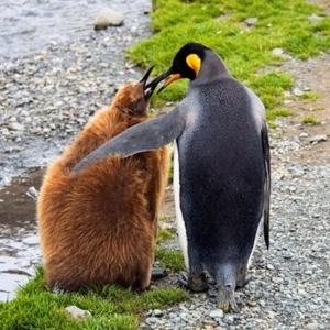 kolay-kolay-goremeyeceginiz-harika-hayvan-yavrulari-kral-penguen-yavrusu-2