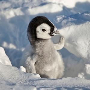 kolay-kolay-goremeyeceginiz-harika-hayvan-yavrulari-kral-penguen-yavrusu